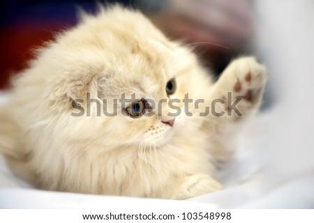 adorable Scottish fold kitten close-up on blurred background - stock photo