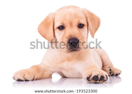 adorable seated labrador retriever puppy dog on white background - stock photo