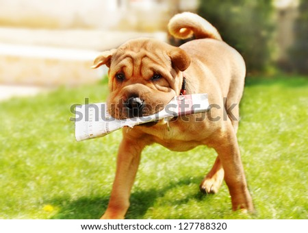 adorable shar pei dog carrying newspaper over green natural background outdoor - stock photo