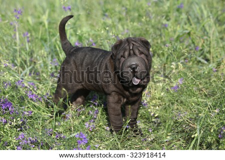 Adorable sharpei standing alone in purple flowers - stock photo