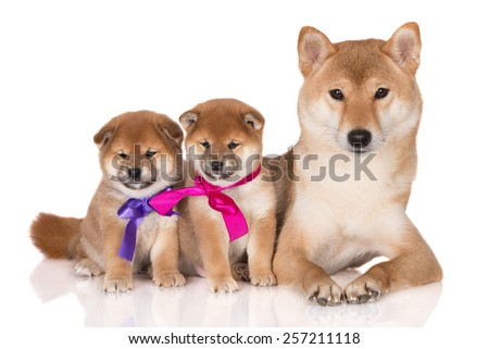 adorable shiba inu dogs family - stock photo
