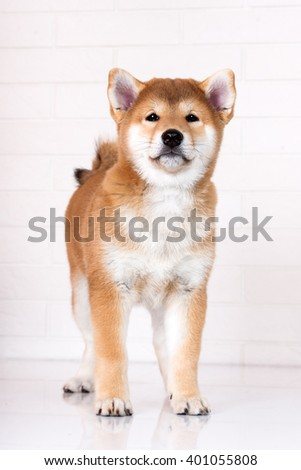adorable shiba inu puppy standing indoors - stock photo