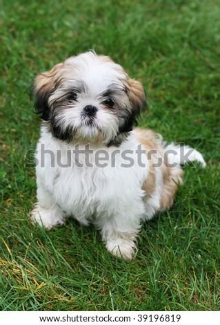 adorable shitzu puppy sitting on grass - stock photo