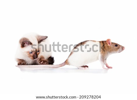 Adorable siamese kitten catching a rat