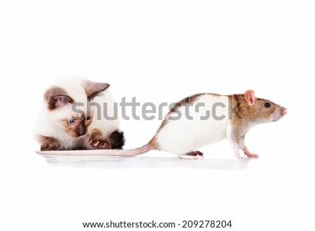 Adorable siamese kitten catching a rat - stock photo