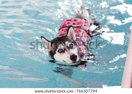 Adorable Siberian Husky enjoy swimming with life vest