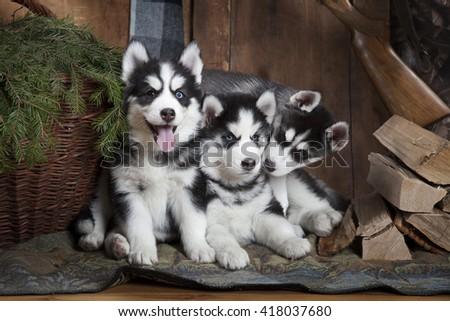 Adorable Siberian Husky puppies (two months old) indoors
