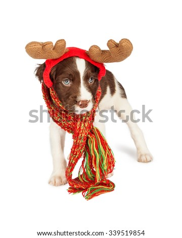 Adorable six week old English Springer Spaniel puppy wearing Christmas reindeer antlers with scarf