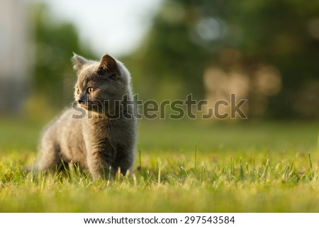 Adorable small kitten on the walk during sunset. British blue cat. - stock photo