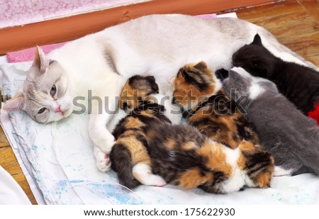 Adorable small kittens with mother cat. kittens suckling at mother cats nipples. Scottish cats - stock photo