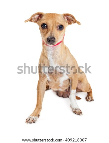 Adorable small mixed breed dog wearing red collar sitting on white background looking forward into camera