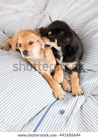 Adorable Small Terrier Mix Puppies Playing on Striped Bed
