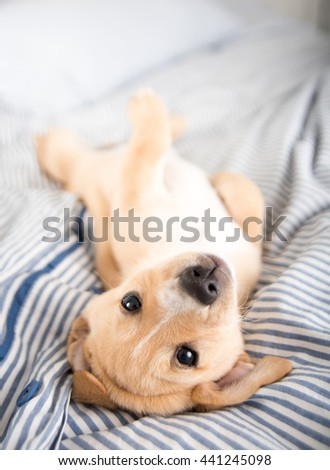 Adorable Small Terrier Mix Puppy Laying on Back - stock photo