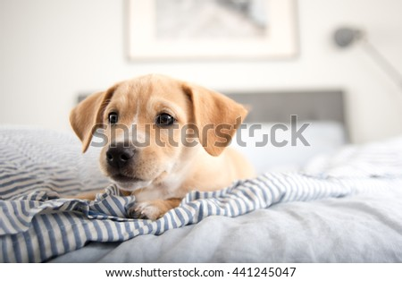 Adorable Small Terrier Mix Puppy Laying on Striped Bed