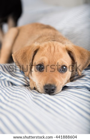 Adorable Small Terrier Mix Puppy Sleeping on Striped Bed - stock photo