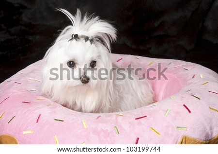 Adorable small white dog isolated on black - stock photo