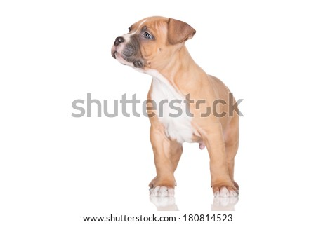 adorable staffordshire terrier puppy