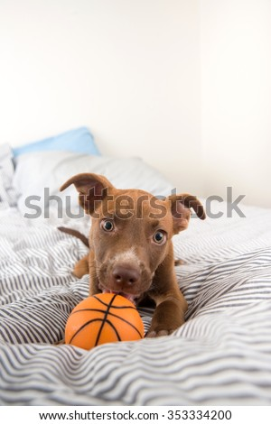 Adorable Terrier Mix Puppy Playing and Chewing Orange Basketball Toy - stock photo