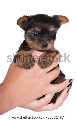 adorable tiny yorkie puppy - stock photo