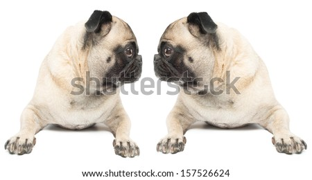 Adorable Twin Pug Dogs on a White Background Looking at Each Other - stock photo