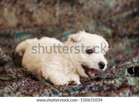 Adorable West Highland White Terrier puppy - stock photo