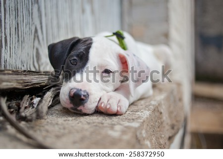 Adorable White and black pit bull puppy abandoned at an old building  - stock photo