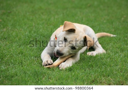 Adorable white dog chewing big bone on the green grass - stock photo