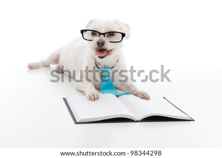 Adorable white dog lying in front of an open book, wearing black rim glasses and a blue tie and is studying or reading or learning, concept.  White background. - stock photo