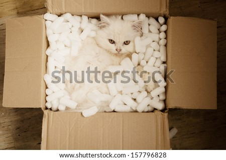 Adorable white Persian kitten in a cardboard box