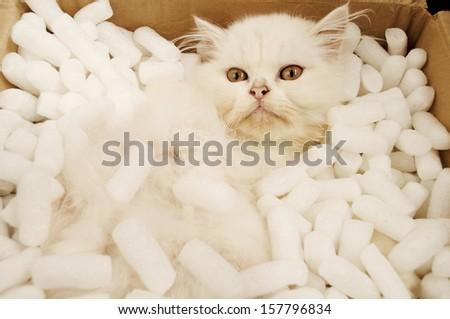 Adorable white Persian kitten in a cardboard box  - stock photo