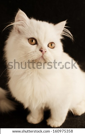Adorable white Persian kitten with yellow eyes, isolated