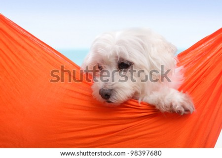 Adorable white puppy dog sitting in an orange sling hammock by the seaside. - stock photo
