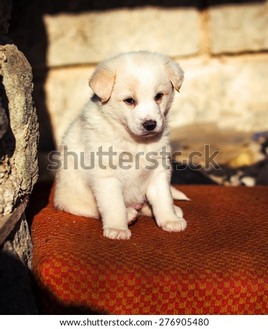 Adorable white shepperd dog puppy . - stock photo
