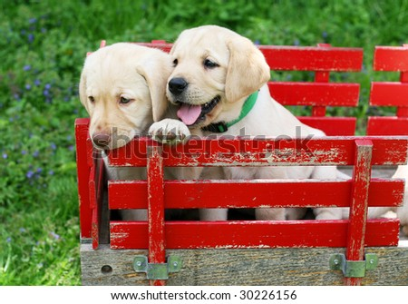 adorable yellow labrador puppies in red cart - stock photo