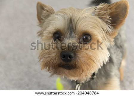 Adorable yorkie puppy gazing into the camera, longing for affection - stock photo