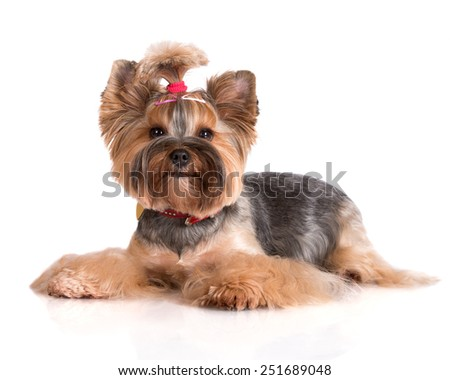 adorable yorkshire terrier dog - stock photo
