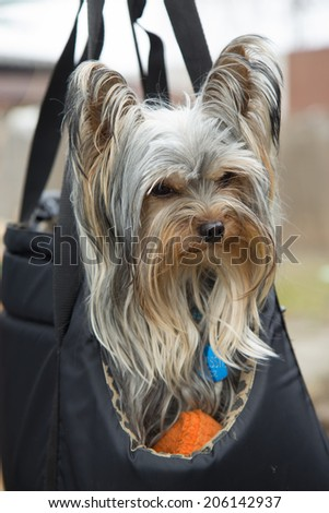 Adorable yorkshire terrier in portable bag. Vertically.