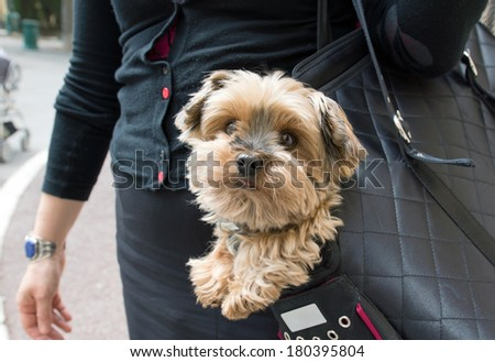 Adorable yorkshire terrier inside shoulder bag carrier of a woman on the street in Paris. - stock photo