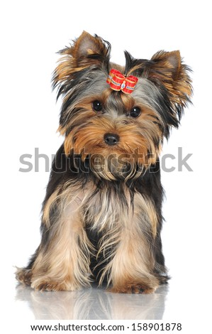 adorable yorkshire terrier puppy - stock photo