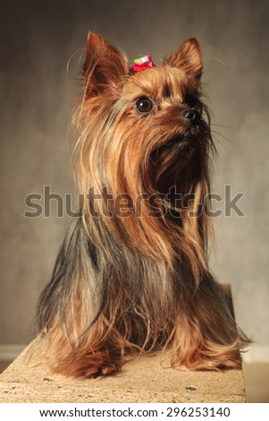 adorable yorkshire terrier puppy dog sitting on a wooden box in studio and looks up to something - stock photo