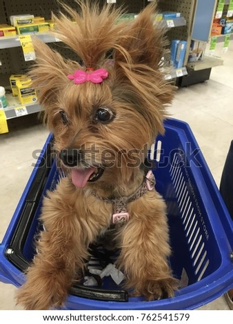 Popular Terrier Bow Adorable Dog - stock-photo-adorable-yorkshire-terrier-puppy-wearing-a-pink-topknot-bow-and-smiling-while-riding-in-a-shopping-762541579  HD_842341  .jpg