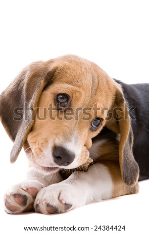 Adorable young beagle pup chewing on a bone - stock photo