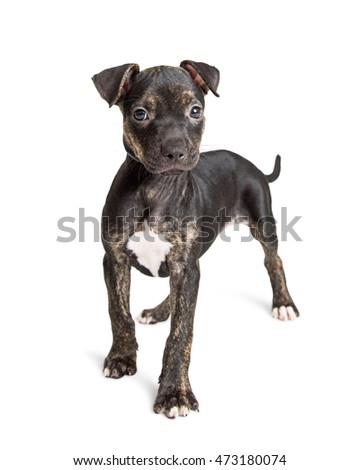 Adorable young Black and brown brindle ten week old puppy