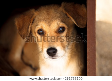 Adorable young brown dog portrait, looking straight to the camera with interest. - stock photo