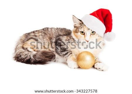 Adorable young Calico breed kitty wearing a red Christmas Santa Claus hat holding a gold tree ornament - stock photo