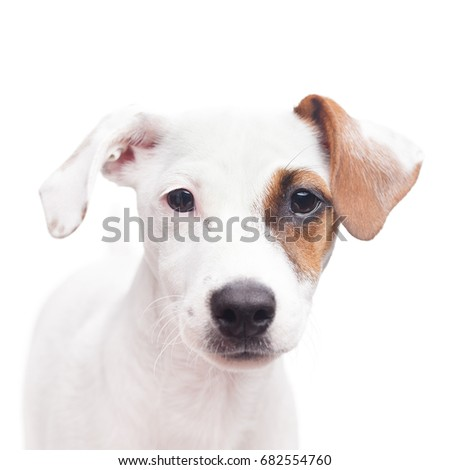 Adorable young Jack Russell terrier with one brown spot on the eye