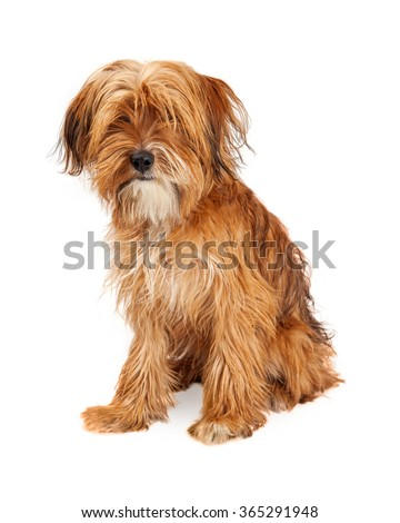 Adorable young mixed breed dog with long shaggy hair covering his eyes - Isolated on white - stock photo