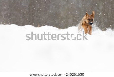 Adorable young puppy running through snowy field. Playful young dog in snow. - stock photo