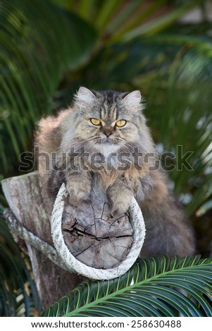 Adorably cute tabby Persian Ragdoll cat sitting relaxed on the tree in island Ko Wai, Thailand - stock photo
