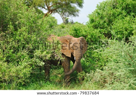 Adult African elephant in the green bush
